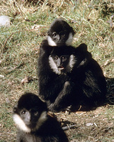 Northern white-cheeked gibbon (Nomascus leucogenys)