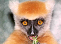 photograph of golden-crowned sifaka