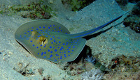 Taeniura lymma, Bluespotted ribbontail ray: fisheries, gamefish, aquarium