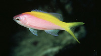 Pseudanthias evansi, Yellowback anthias: aquarium