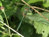 Somatochlora metallica - Brilliant Emerald