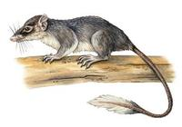Image of: Ptilocercus lowii (pen-tailed tree shrew)