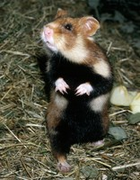 Cricetus cricetus - Common Hamster