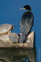 Image of: Phalacrocorax auritus (double-crested cormorant)