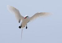Red-tailed Tropicbird (Phaethon rubricauda) photo