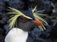 Northern Rockhopper Penguin (Eudyptes (chrysocome) moseleyi) photo