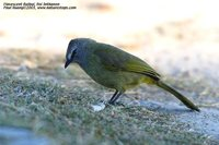 Flavescent Bulbul - Pycnonotus flavescens