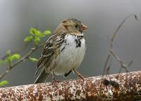 Harris's Sparrow at Page Rd. 1/15/05 © 2005 Jim Gain