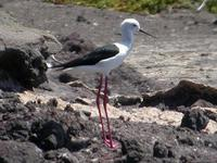 Black-winged Stilt, Salinas Del Janubio, Lanzarote, March 2006.