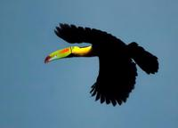 Keel-billed Toucan on the down-flap