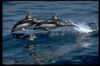 Pacific White-Sided Dolphin 314028.jpg (91004 bytes)