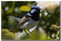 Superb Fairy-Wren(Malurus cyaneus)