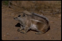 : Ammospermophilus leucurus; White-tailed Antelope Squirrel