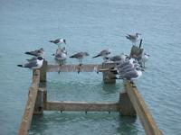 Image of: Larus atricilla (laughing gull)