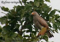 Rufous-winged Buzzard - Butastur liventer