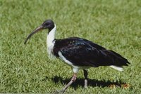 Straw-necked Ibis - Threskiornis spinicollis