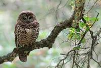 Spotted Owl (Strix occidentalis) photo