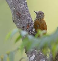 Red-rumped Woodpecker (Veniliornis kirkii) photo