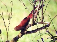 Squirrel Cuckoo - Piaya cayana