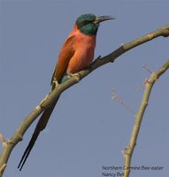 Northern Carmine Bee-eater - Merops nubicus