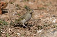 Yellow-faced Grassquit - Tiaris olivacea