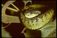 : Atheris nitschei; Sedge Viper