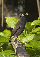 Acridotheres tristis  Common Myna photo
