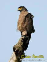 Crested Serpent Eagle (Spilornis cheela)