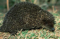 Greater Hedgehog Tenrec (Setifer setosus) foraging at night.