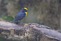 Orange-bellied Euphonia (Euphonia xanthogaster) photo