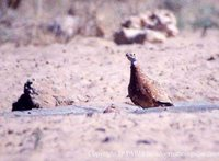 Burchell's Sandgrouse - Pterocles burchelli