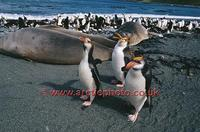 ...FT0138-00: Royal Penguins, Eudyptes Schlegeli, walk past Elephant seals. Macquarie Island. Sub A