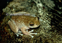 : Litoria nannotis; Torrent Tree Frog