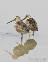 : Limnodromus scolopaceus; Long-billed Dowitcher