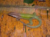: Ameiva ameiva; Amazon Whiptail