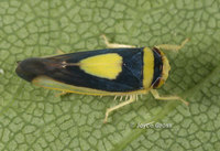 : Colladonus clitellarius; Saddled Leafhopper