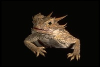 : Phrynosoma sp.; Horned Lizard