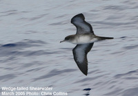 Figs.   7-8. Wedge-tailed Shearwater.
