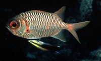 Myripristis violacea, Lattice soldierfish: fisheries