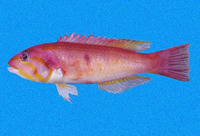 Decodon melasma, Blackspot wrasse: fisheries