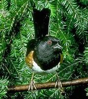 Image of: Pipilo erythrophthalmus (eastern towhee)