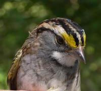 Image of: Zonotrichia albicollis (white-throated sparrow)