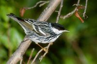 Blackpoll Warbler (Dendroica striata) photo