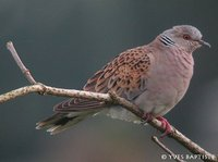Eurasian Turtle-Dove - Streptopelia turtur