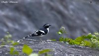 Slaty-backed Forktail - Enicurus schistaceus