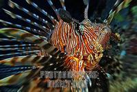Lionfish ( Pterois volitans ) , Vakarufalhi , Ari atoll , Indian Ocean , Maldives stock photo