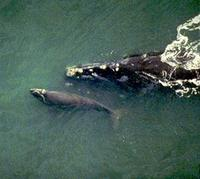 aerial view of North Atlantic right whale swimming with calf