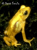 : Nectophrynoides asperginis; Kihansi Spray Toad