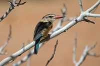 : Halcyon albiventris; Brownhooded Kingfisher