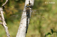 : Aeshna juncea; Common Hawker